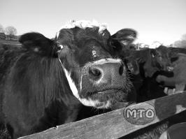 Cow Close Up - Black & White