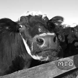 Cow Close Up - Black & White
