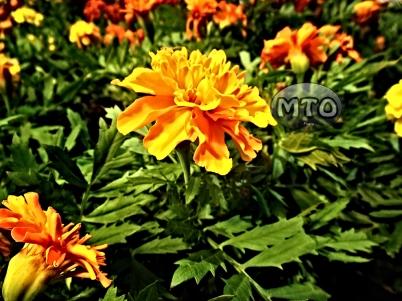 Orange Flower in the Spring