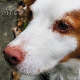 Beautiful Brittany Dog Close Up