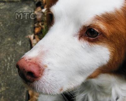 Beautiful Brittany Dog Close Up